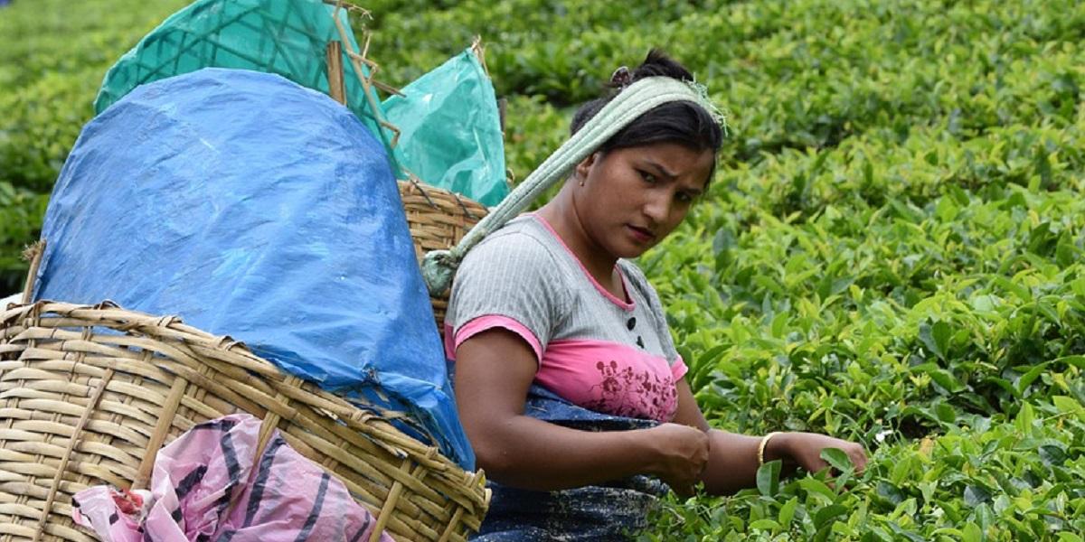 Индия, чай, чайные плантации,