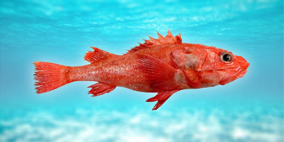 Сахалин, шипощёк, рыба, деликатес, улов