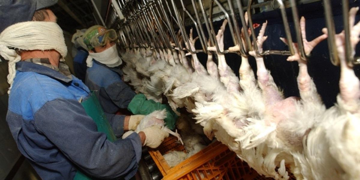 Птицефабрика «Боровская», птичий грипп, ликвидация, МЧС, сжигание птиц